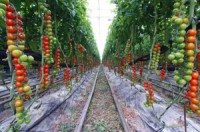 rows of hydroponically grown tomato plants