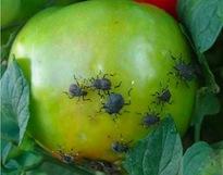 BMSB-on-tomato