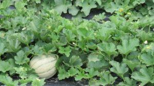 melon in the field