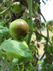 Late blight on tomato fruit