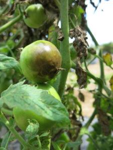 2018 Fungicide Spray Guides for Tomato and Pepper in North Carolina