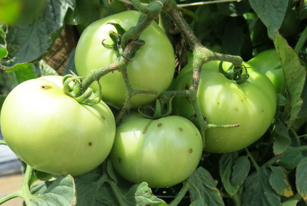 2018 Fungicide Spray Guides for Tomato and Pepper in North