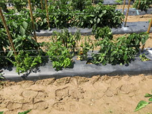 Phytophthora root rot on pepper
