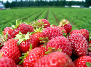 Picture of Locally Grown NC Strawberries