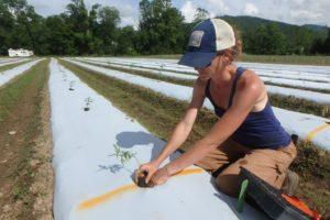 Researcher planting a hemp plant in a field